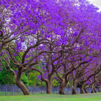 line of jacaranda trees