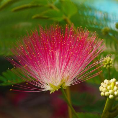 pink mimosa tree flower